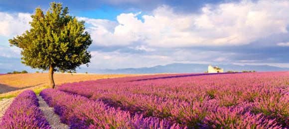Lavendelblütenfeld